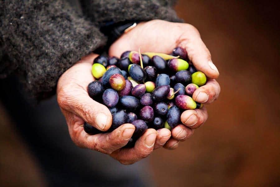 mani che raccolgono olive